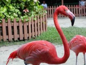 A Flamingo at Ardastra Gardens Zoo Nassau Bahamas.