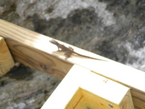 Lizard on ladder.