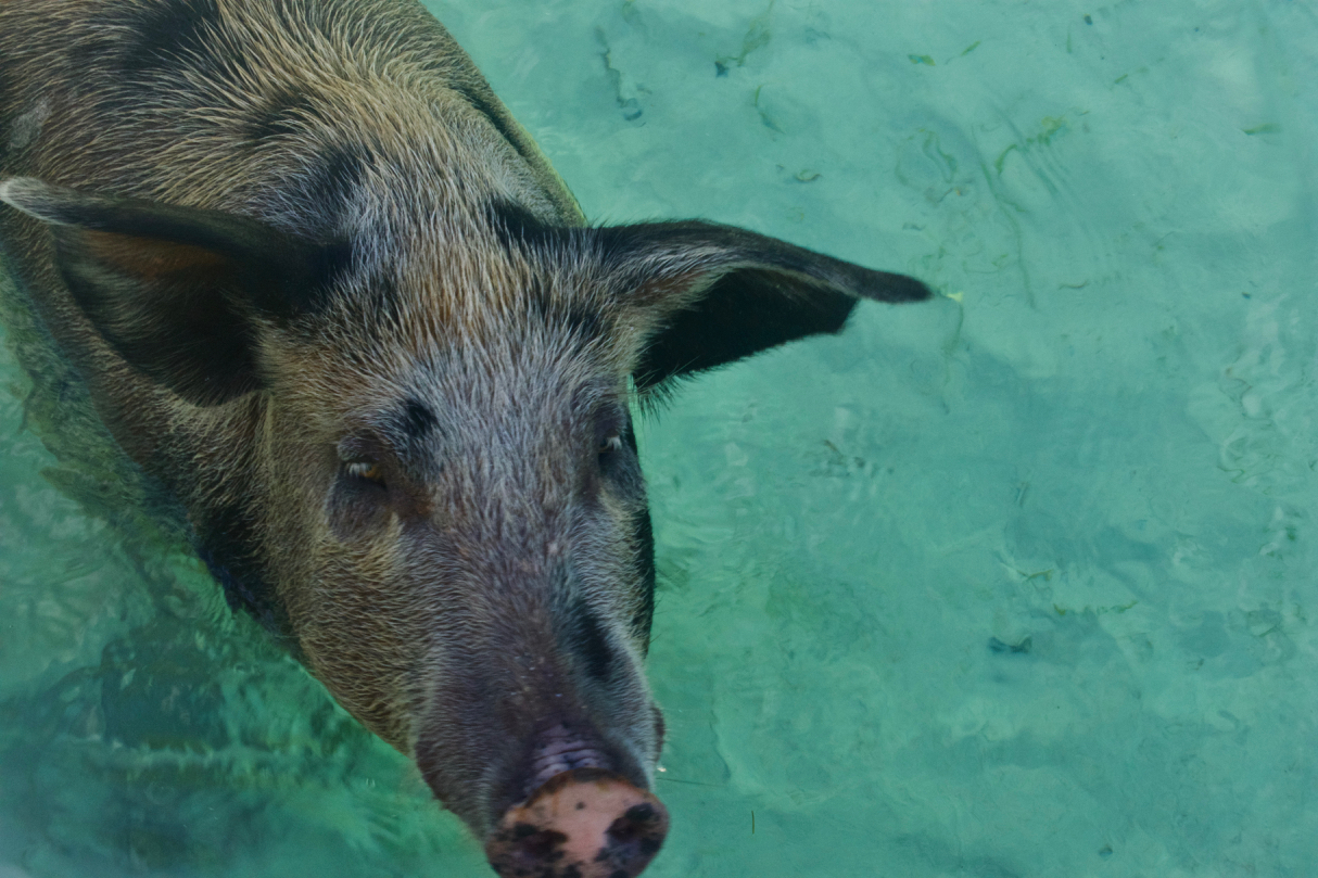 Cookie the pig swimming