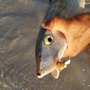 Bone fish on a fly